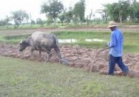buffalo-tiller